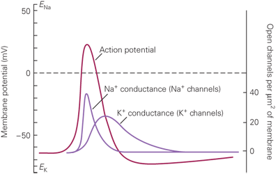 A diagram of an action potential