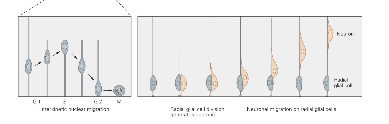 radialglia